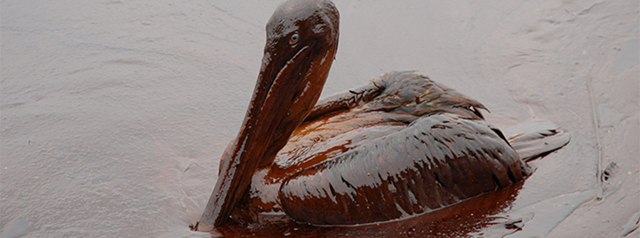 Oiled pelican